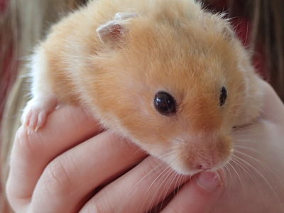 Billington 2 the Hamster