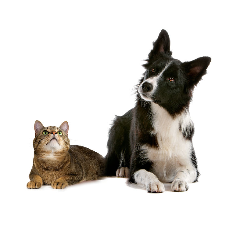 Collie and cat looking up