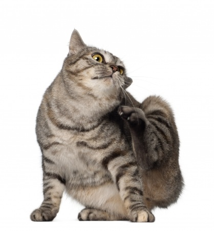 Why do cats suck on their paws