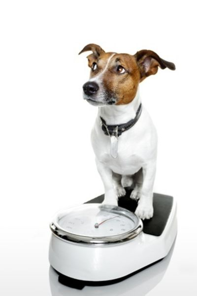 dog on weigh scales
