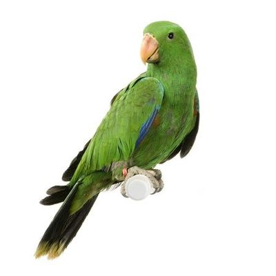 Green parrot on white background