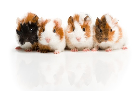 Two's Company: Guinea Pigs