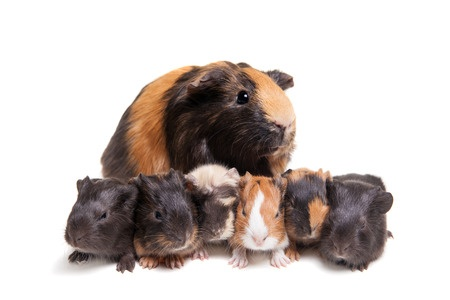 guinea pig mother with babies