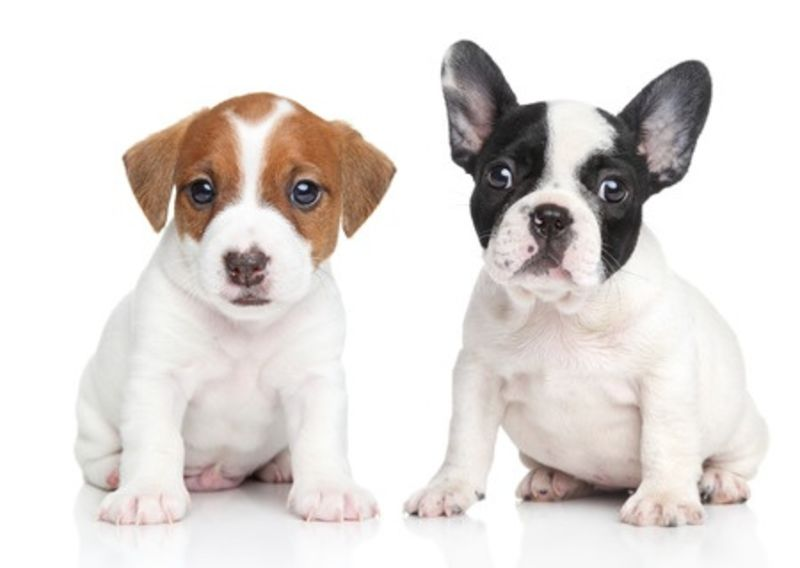 puppies two white background daisy street vets blackburn