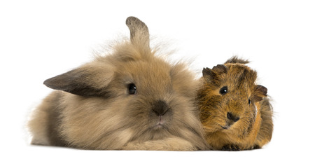 rabbit and guinea pig white background