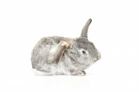rabbit scratching on white background