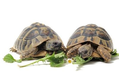 Two tortoise eating
