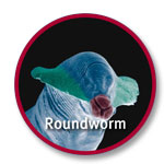 worm_roundworm