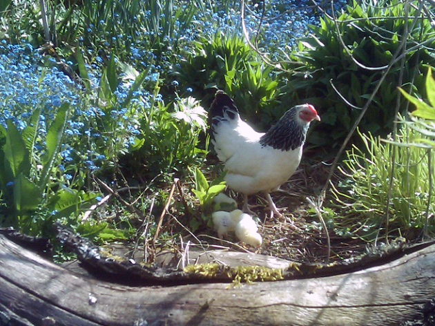 We also have hens…